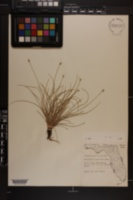Fimbristylis schoenoides image