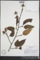 Image of Fagus sinensis