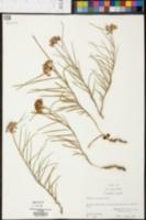 Asclepias michauxii image
