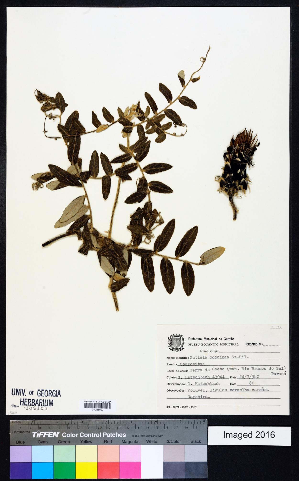 Mutisia coccinea image