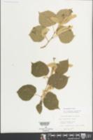 Tilia platyphyllos image