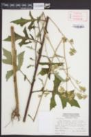 Nabalus serpentarius image
