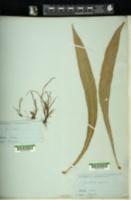 Image of Acrostichum apodum