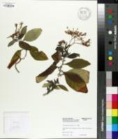 Image of Heliotropium arborescens