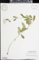 Euphorbia corollata var. corollata image
