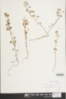 Image of Oxalis florida