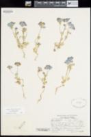 Nemophila menziesii image