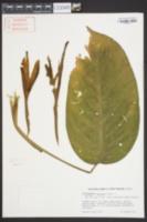 Image of Dieffenbachia oerstedii