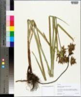 Image of Schoenoplectus glaucus