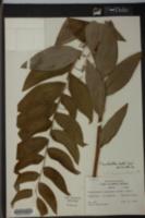 Polygonatum canaliculatum image