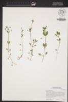 Stellaria neglecta image