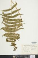 Athyrium thelypterioides image