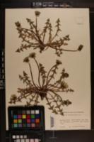 Image of Taraxacum duplidens