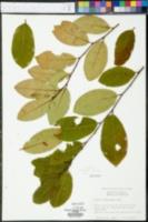 Prunus alabamensis image