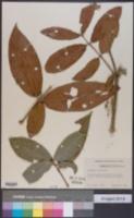Image of Malpighia fucata