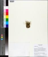Eleocharis minima image