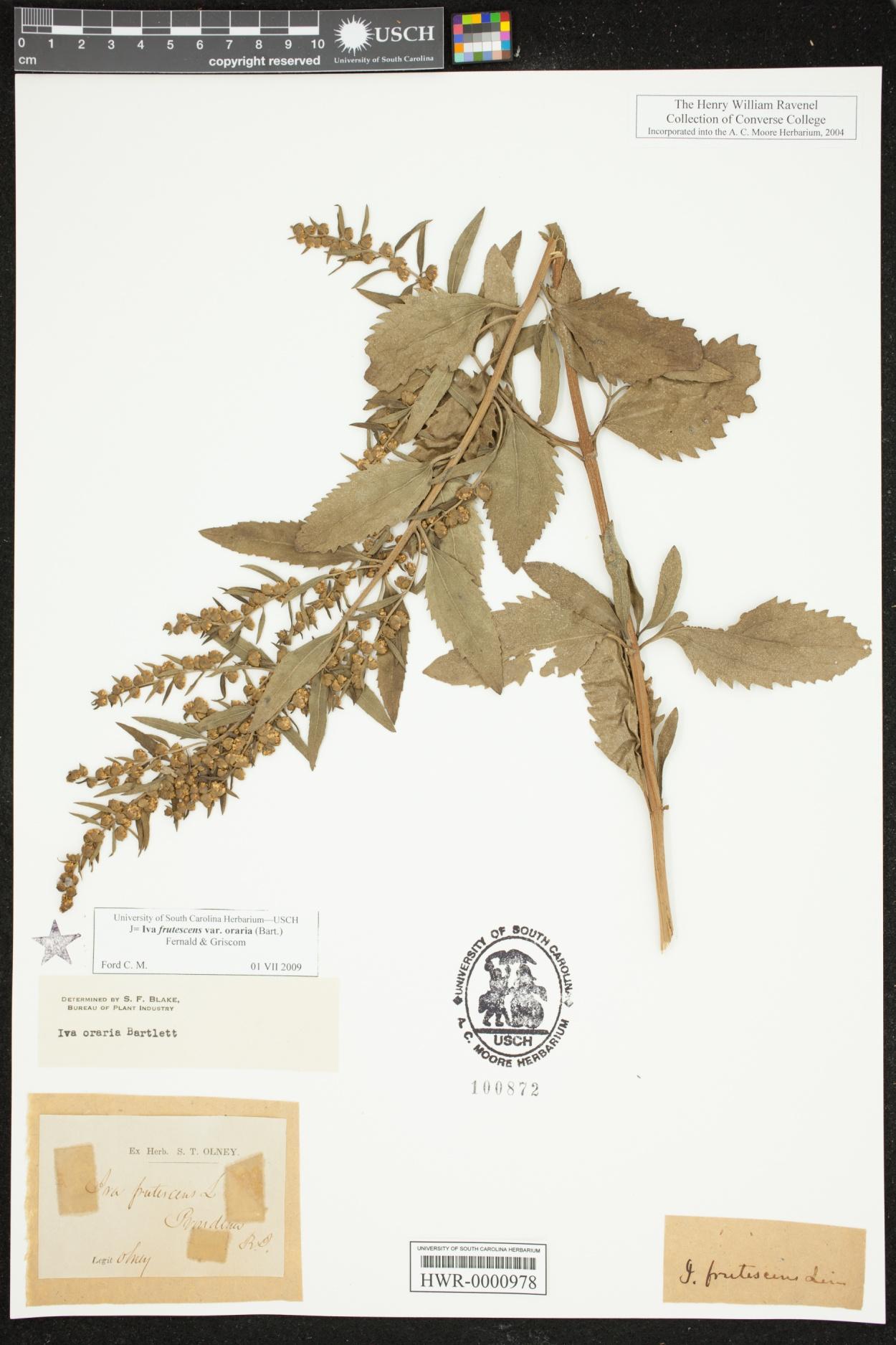 Iva frutescens subsp. oraria image
