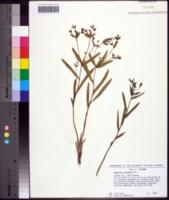 Image of Euphorbia inundata