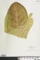 Image of Nicotiana sylvestris