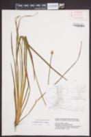 Xyris fimbriata image