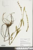 Image of Physostegia leptophylla
