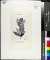 Quercus brandegeei image