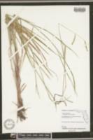 Image of Urochloa humidicola