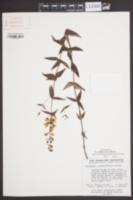 Image of Lysimachia asperulifolia