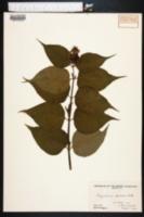 Image of Leycesteria formosa