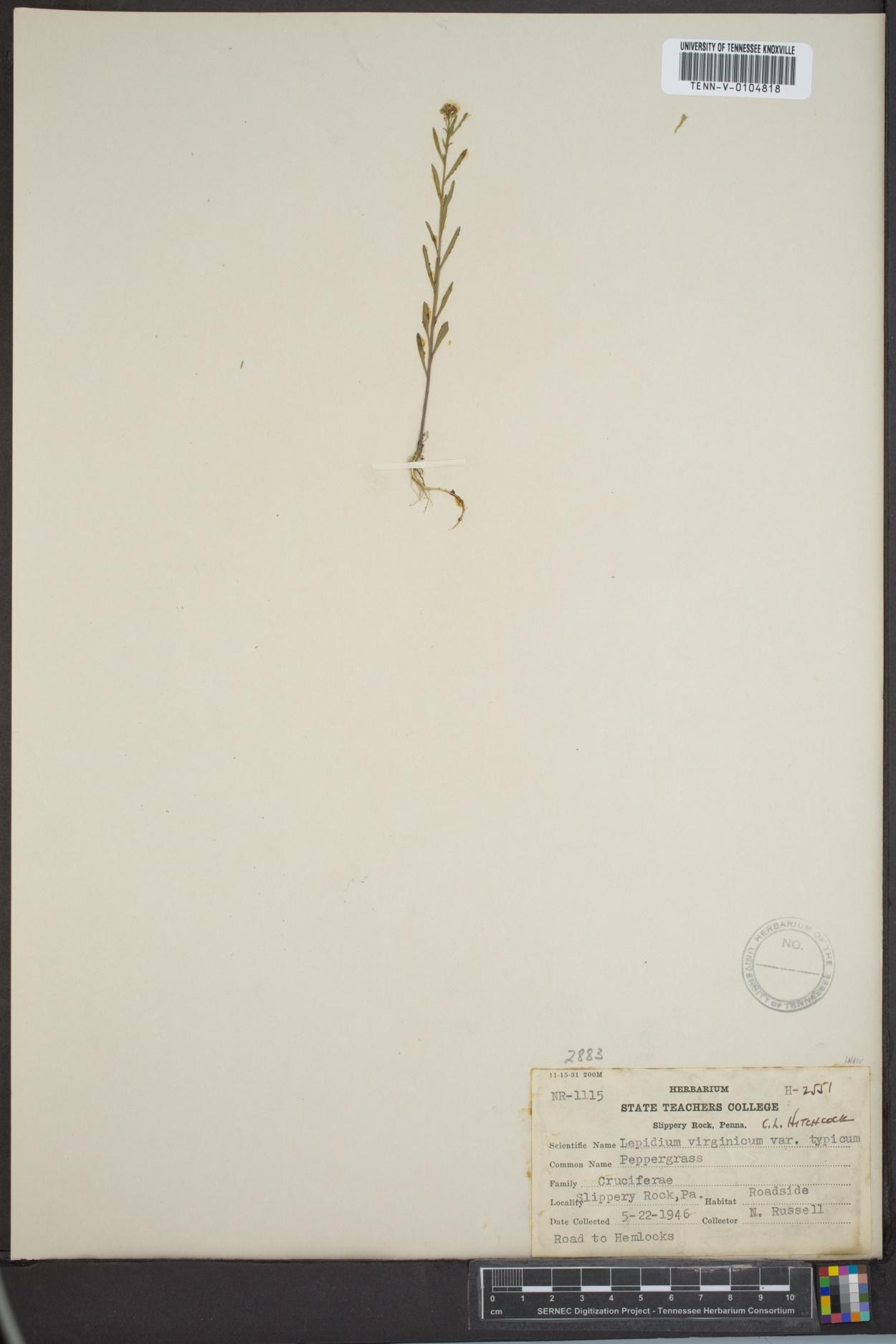 Lepidium virginicum var. typicum image