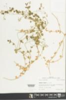 Drymaria cordata image