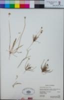 Microseris elegans image