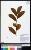 Image of Quercus alnifolia