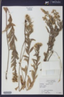 Image of Solidago angusta
