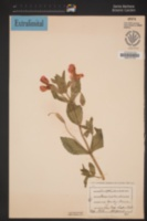 Erythranthe cardinalis image