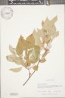 Image of Cornus obliqua