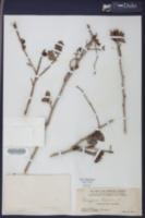 Gossypium hirsutum image