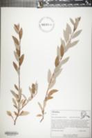 Image of Salix arbusculoides
