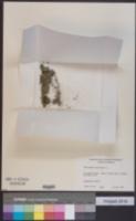 Callitriche terrestris image