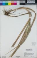 Leymus condensatus image