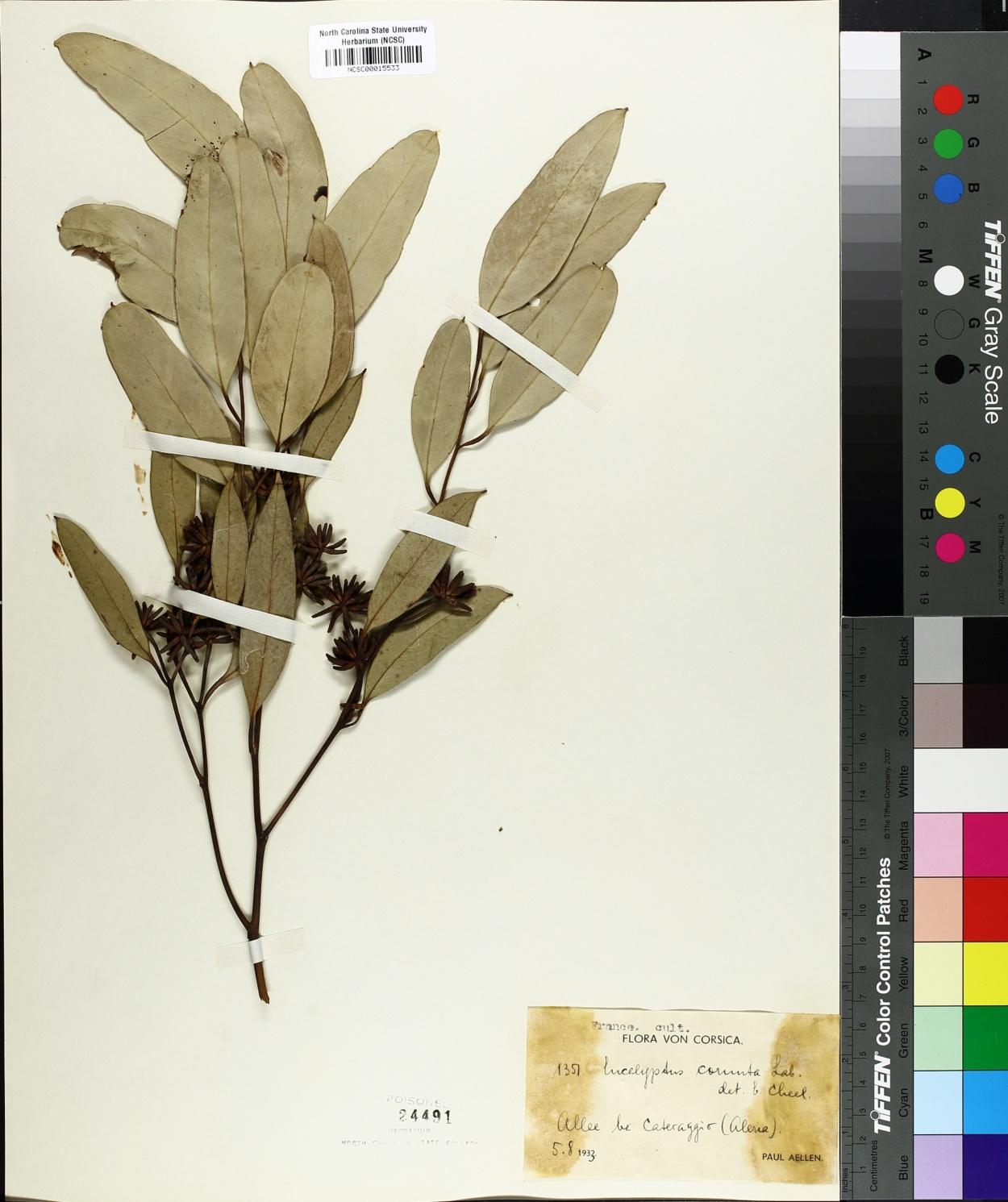 Eucalyptus cornuta image