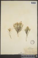 Phlox tenuis image