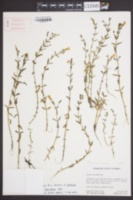 Image of Gratiola brevifolia