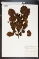 Image of Crataegus arnoldiana
