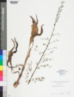 Image of Melanthium hybridum