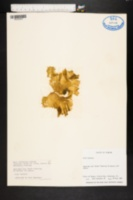 Ulva lactuca image