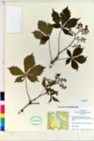 Image of Vitis monticola