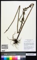 Image of Stachytarpheta angustifolia