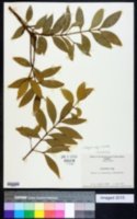 Image of Podocarpus nagi