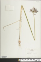 Image of Allium caeruleum